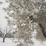 Olijfboom in de sneeuw