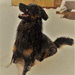 Boaz in de sneeuw