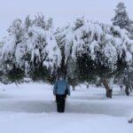 Olijfboom bedekt met sneeuw Filomena jan 2021